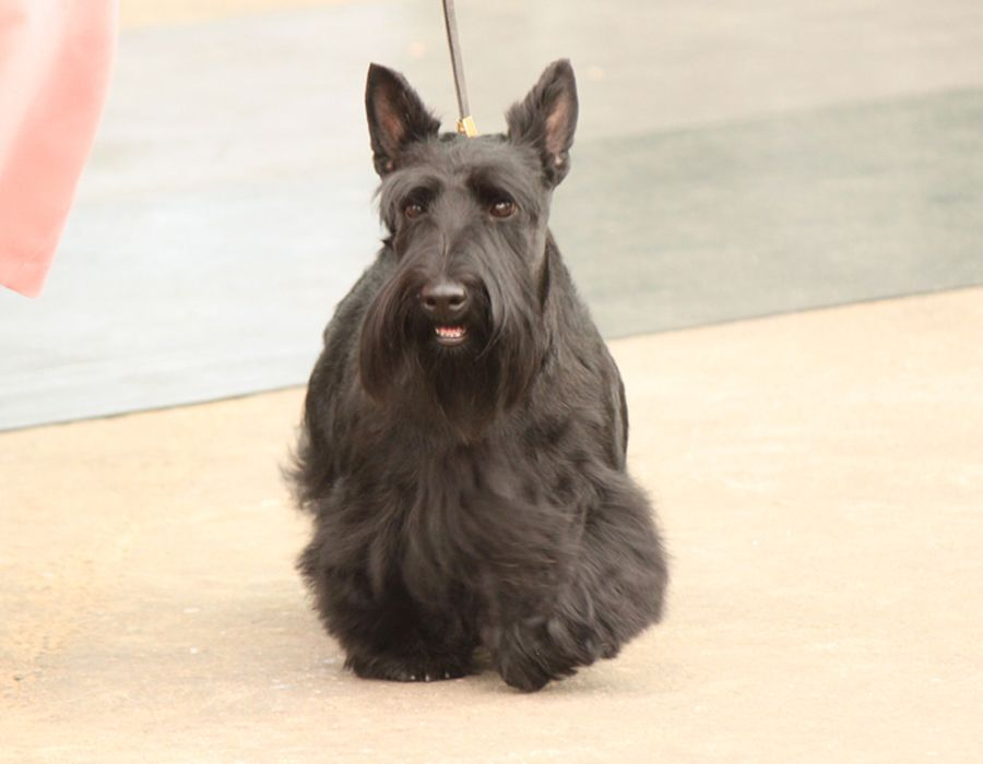 Scottish Terrier Dog Breed Information Scottish Terrier Terrier