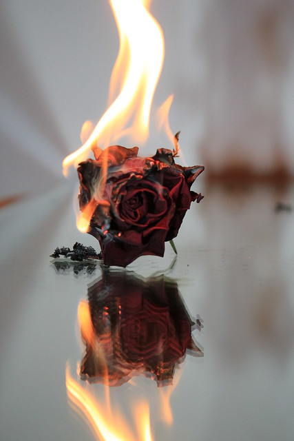 Rose On Fire Rose On Fire Fire Photography Aesthetic Roses