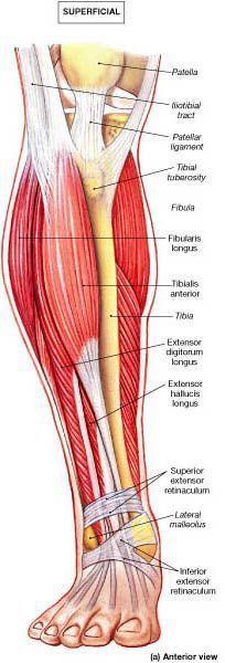 Muscle Identification. Anatomía de la Pierna. La Unidad ...