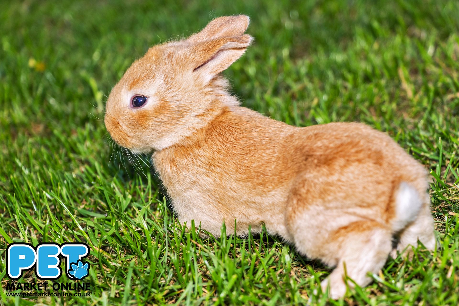 check out new rabbit hutch. I am sure that this fluffy #rabbit would love it!  http://www.petmarketonline.co.uk/rabbit-products/chicken-coop-rabbit-hutch-h8-125.html