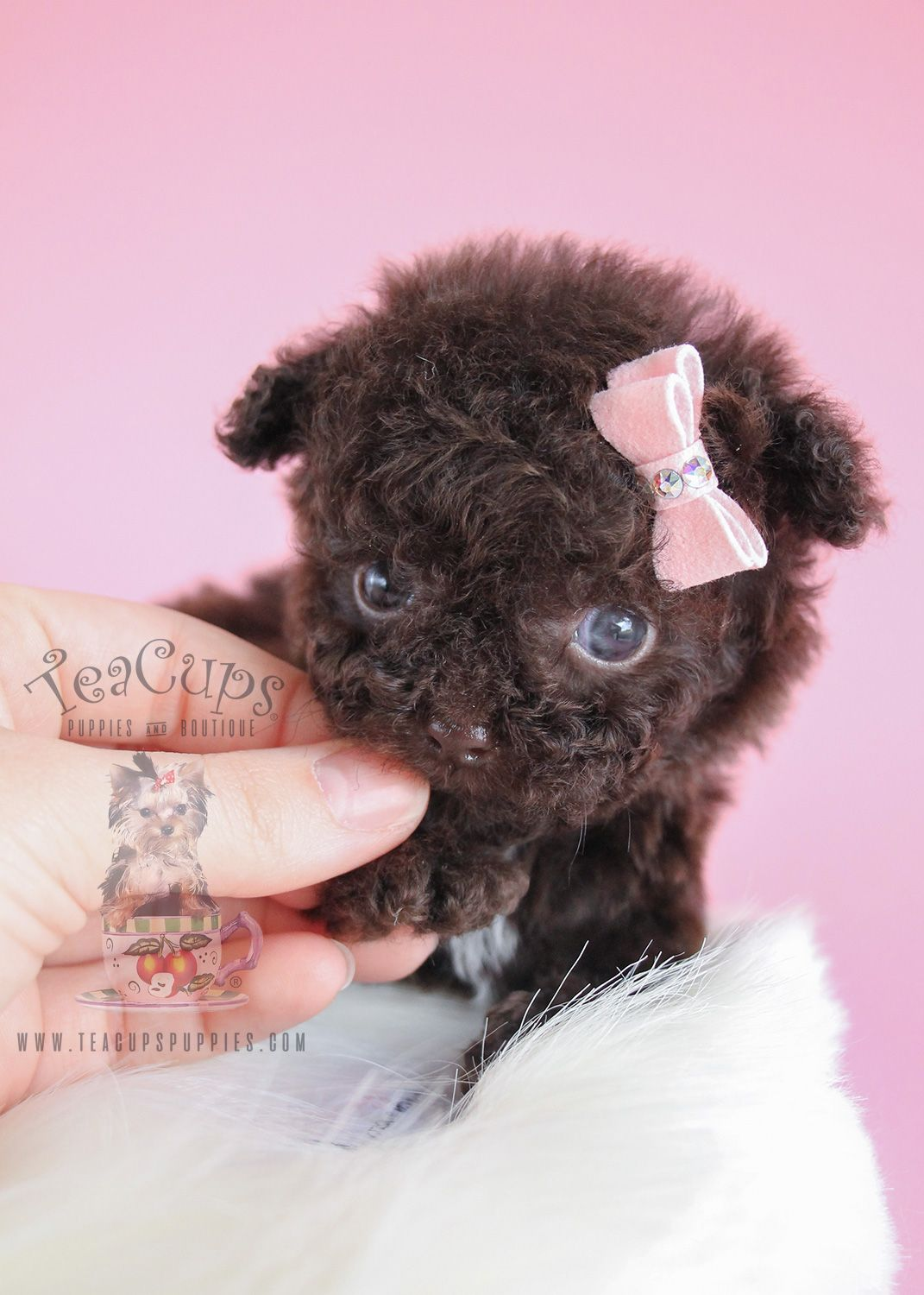 Micro Teacup Poodle 107 Puppy For Sale Poodle puppies