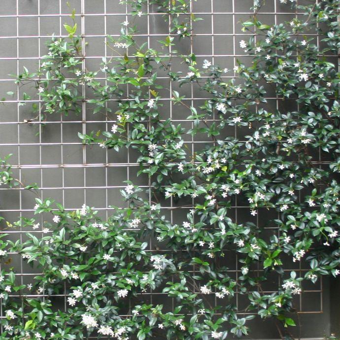 trachelospermum jasminoides pergola fireplace pinterest trachelospermum jasminoides. Black Bedroom Furniture Sets. Home Design Ideas