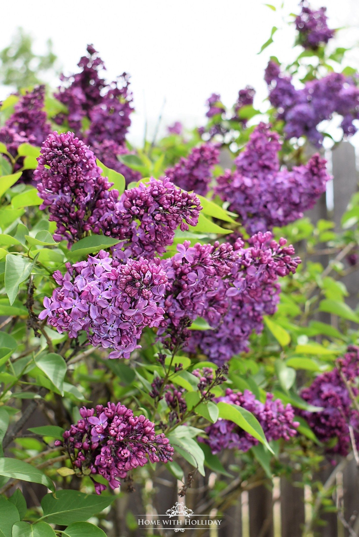 Pruning And Enjoying Lilacs Lilacs Lilac Plant Lilac Tree Lilac Pruning