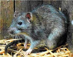 sewer rats - Google Search