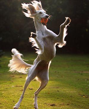 Saluki Welpen Sawahin Salukis Saluki Hund Hunderassen Alter Hund