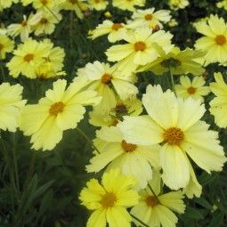 Coreopsis Full Moon Madness - Coréopsis à fleurs jaune ...