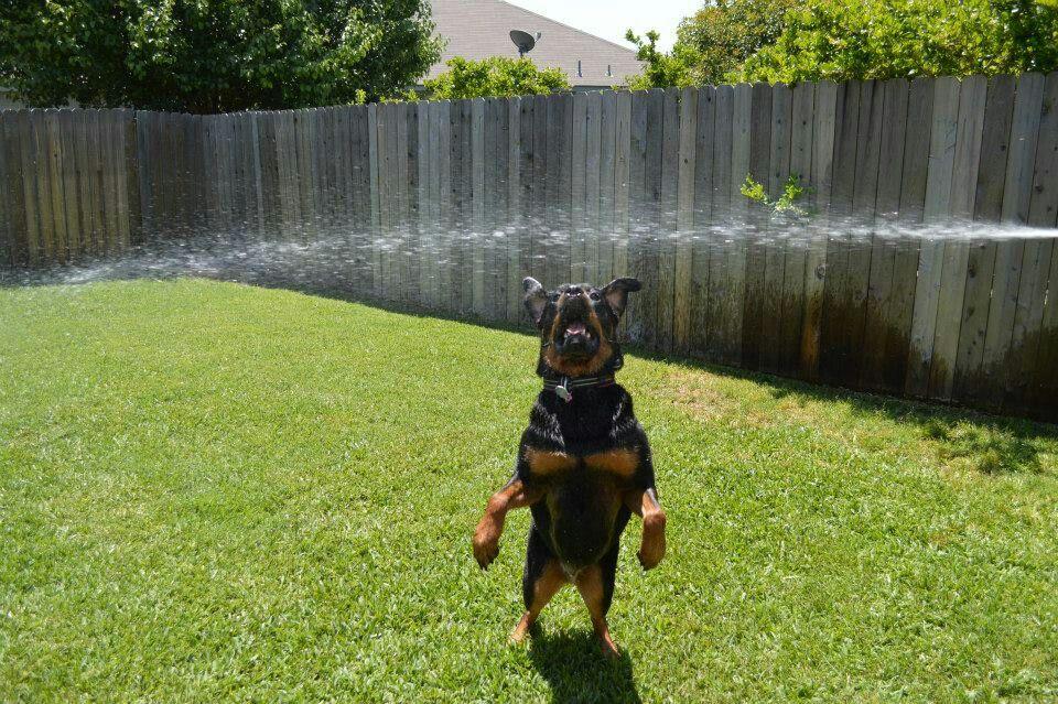 Bella biting the water Rottweiler, Puppies