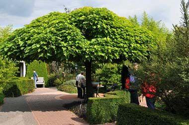 Catalpa bignonioide nana jardin pinterest jardins et for Arbre pousse rapide pour ombre