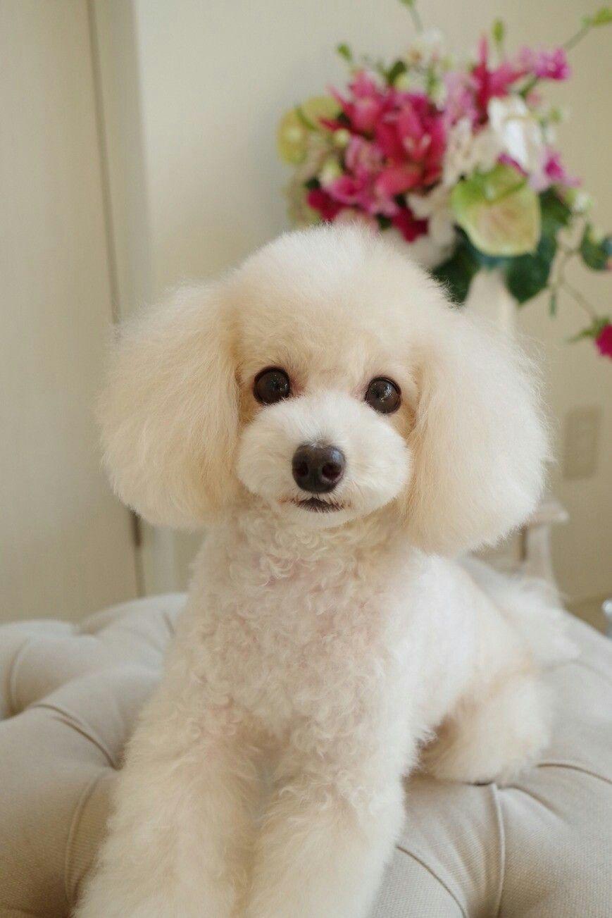 Poodle Toy Poodle Haircut Poodle Haircut Poodle Hair