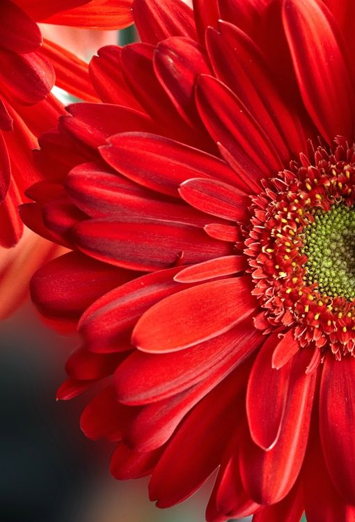 Gerbera Daisy Love The Color And Flower Gerbera Flower Red Flowers