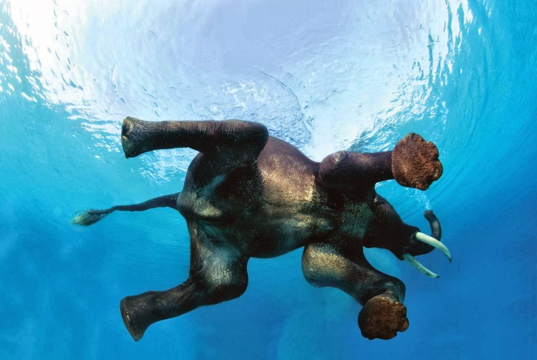 I've never seen an elephant swim. :)