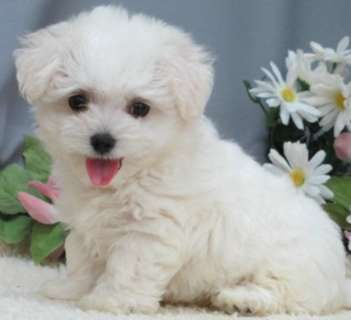 Mixed Breed For Sale Hoobly Classifieds Maltipoo Puppy Pedigree Dog Puppies