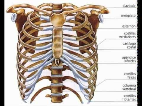las costillas en el cuerpo humano