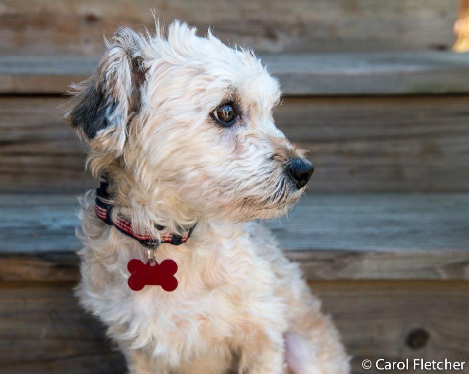 Adopt Poppy On Havanese Puppies Havanese Havanese Dogs