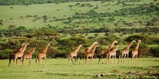 A Tanzania safari is the perfect choice for your annual holiday.Tanzania remains to be one of the world's greatest wildlife destinations, and also home to Africa's greatest and most famous Game Reserves and National Parks.