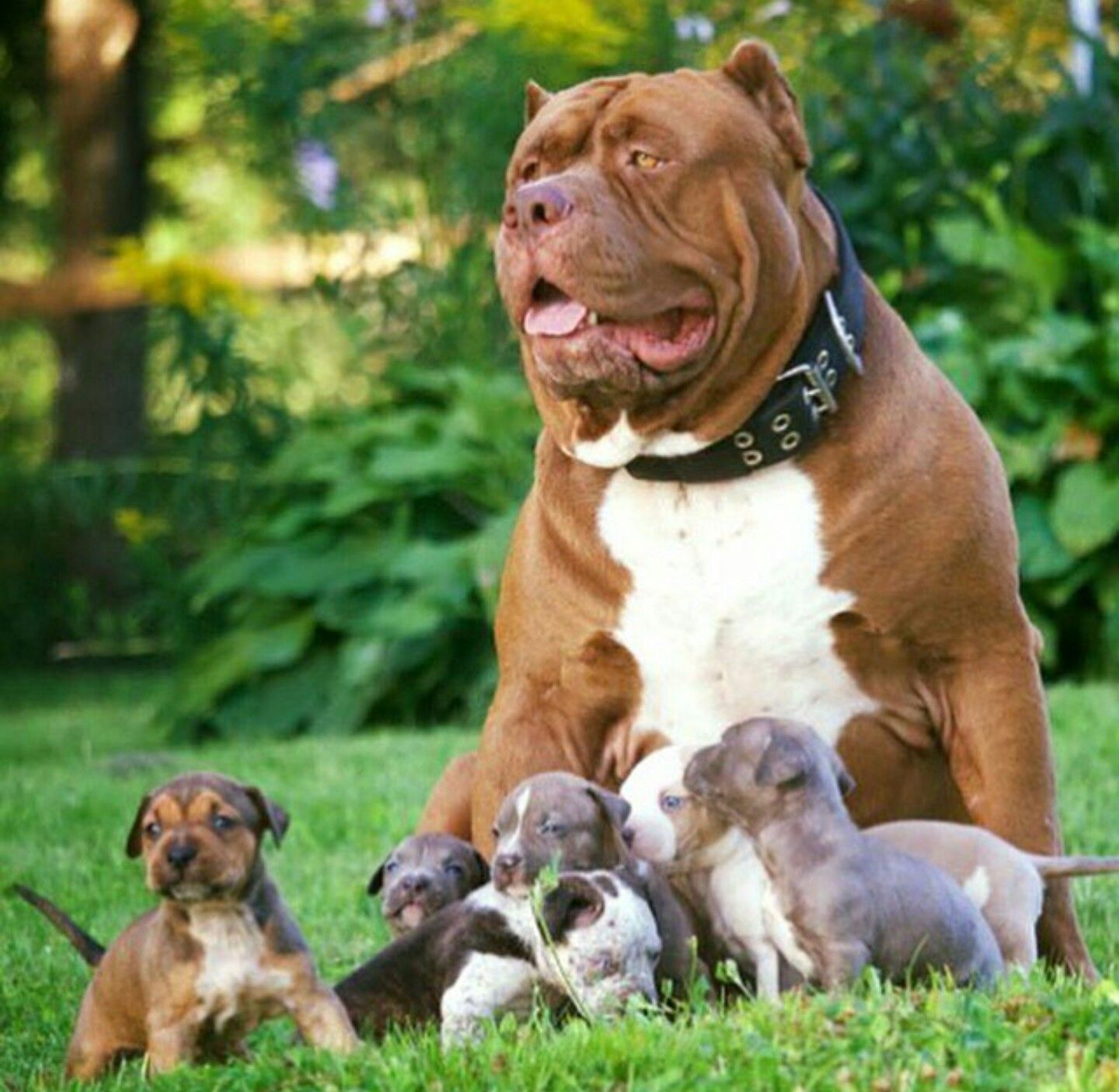 World39s Largest Pitbull Hulk Has 8 Puppies Worth Up To Half A