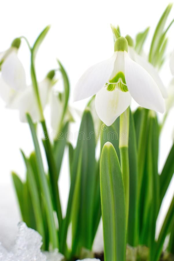 Snowdrop And Snow Snowdrop Flower Coming Out From Real Snow On White Ad Flower Snow Snowdrop Coming Whi Real Snow White Images Of Colours Flowers