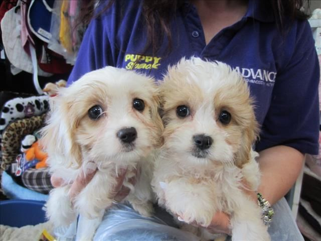 Maltese X Cavalier Maltalier Puppies At Puppy Shack Dog