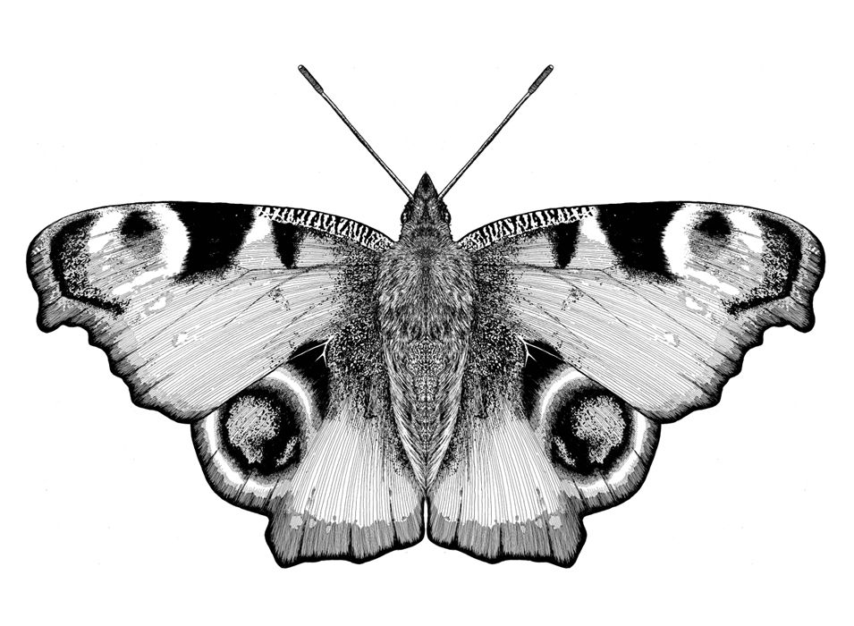 Black And White Peacock Butterfly Google Search Butterfly Tattoo Butterfly Black And White Peacock Butterfly