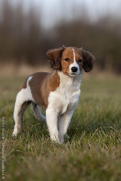 Kooikerhondje Puppy Human Dog And Duck In Harmony Purebred Dogs Dogs Dog Breeds