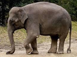 코끼리에 대한 이미지 검색결과