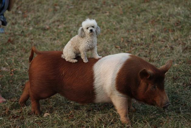 Hund-und-Schwein