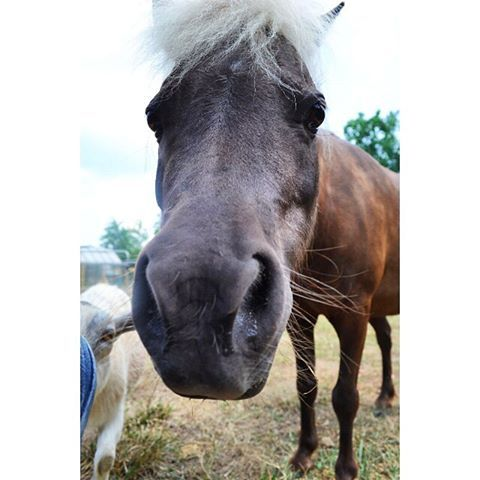 "Q: Why did the horse cross the road? A: Because somebody shouted ""hay""!   Tater Tot, the mini horse, is still laughing at that joke.  #CampWeaver #MiniFarm #Funny"