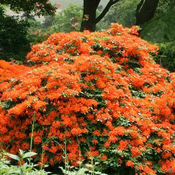 Azal e mollis orange 1 arbrisseau achetez en ligne sur internet commander vite massif est for Commander fleurs sur internet