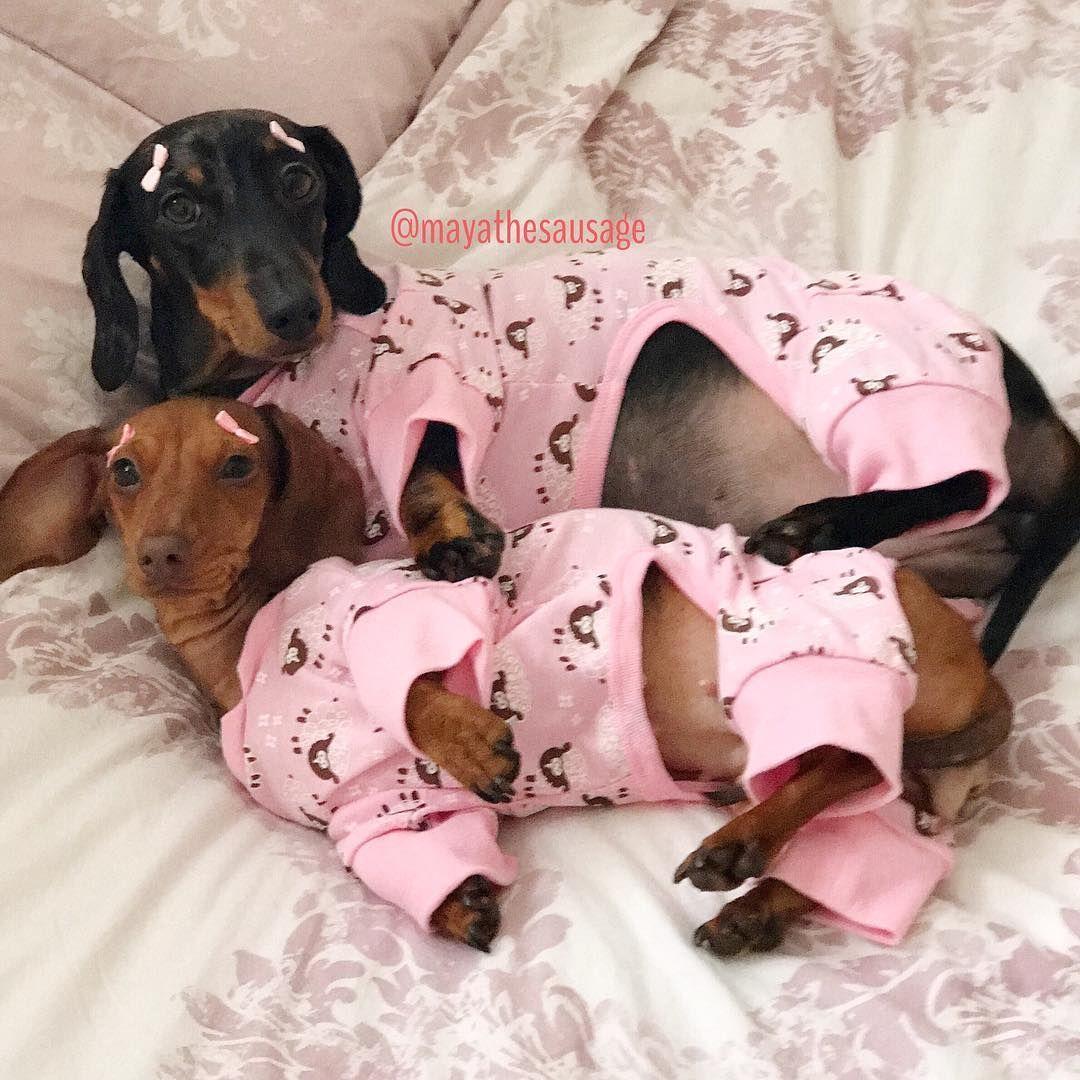 Dachunds Wearing Pjs Weiner Dog Weenie Dogs Miniature Dachshunds