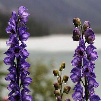 Aconitum Aka Monkshood Wolfsbane Monkshood Flowers Wolfsbane