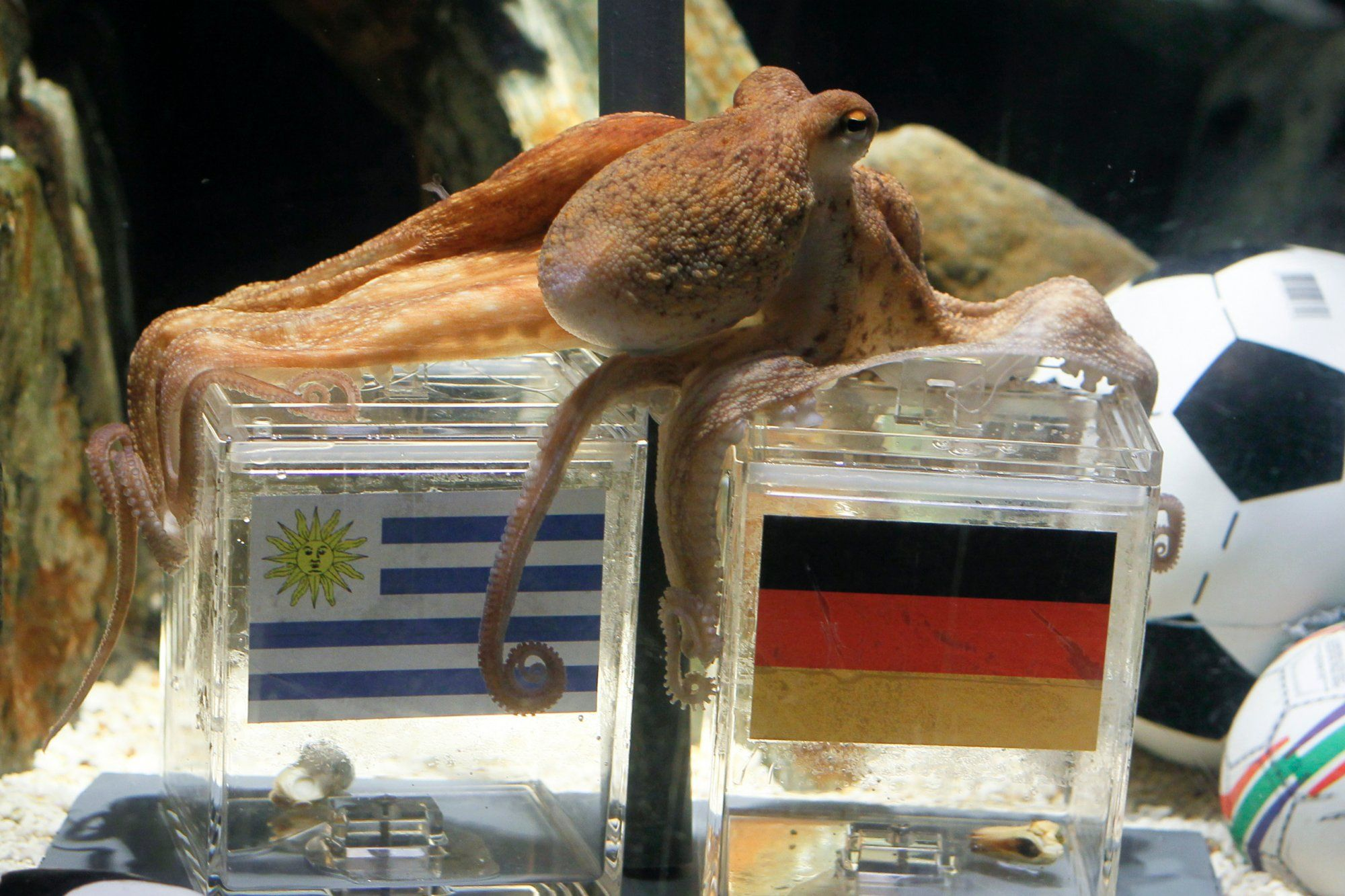 The Amazing Tale Of Paul The Psychic Octopus Germany S World Cup Soothsayer Paul The Octopus Octopus Psychic