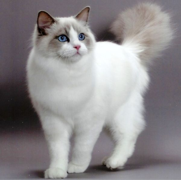 Ragdoll with maine coon