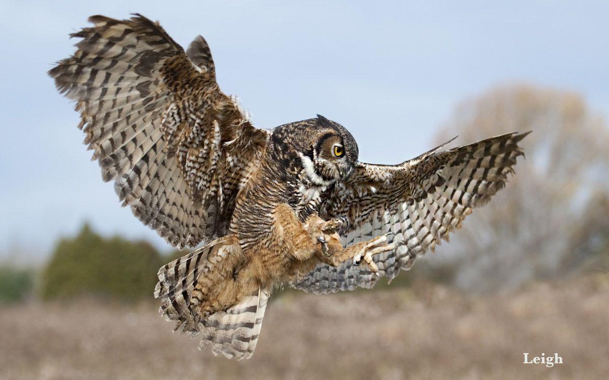 Dsc 7350 Great Horned Owl 01 Jpg 1200 750 Great Horned Owl Owl Horned Owl
