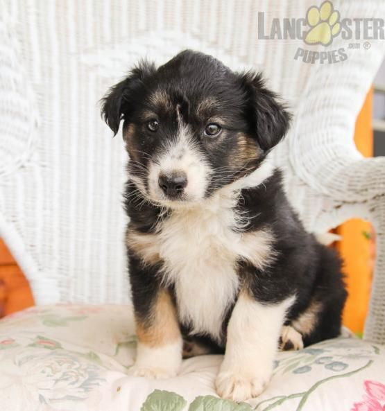 Nellie Border Collie Mix Puppy for Sale in Greencastle