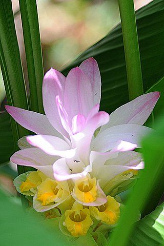 Dr. Bill's Plant of the Week – Hidden Ginger (Curcuma petiolata) As the common name implies, the flowers of this tropical Ginger are hidden among the bright green foliage of this rhizomatous plant. The violet pink bracts hide the golden yellow flowers. Since we live in a semi-tropical climate, this Ginger dies back in the winter but resprouts in the spring to reward us with flowers in late summer. Probably best grown in partial shade, we have plantings that are doing well in a great deal of…