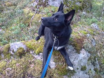 Noki Border Collie German Shepherd Mix Our Noki Looks Like A