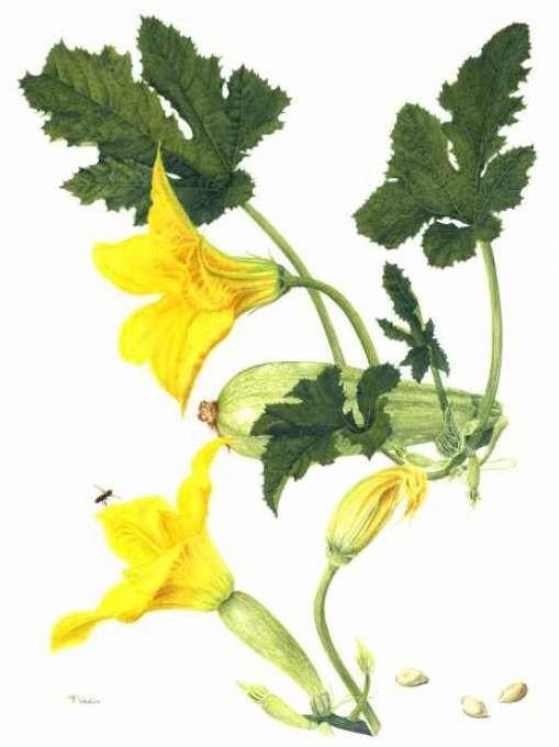 """Résultat de recherche d'images pour """"dessin courgettes jaunes"""""""