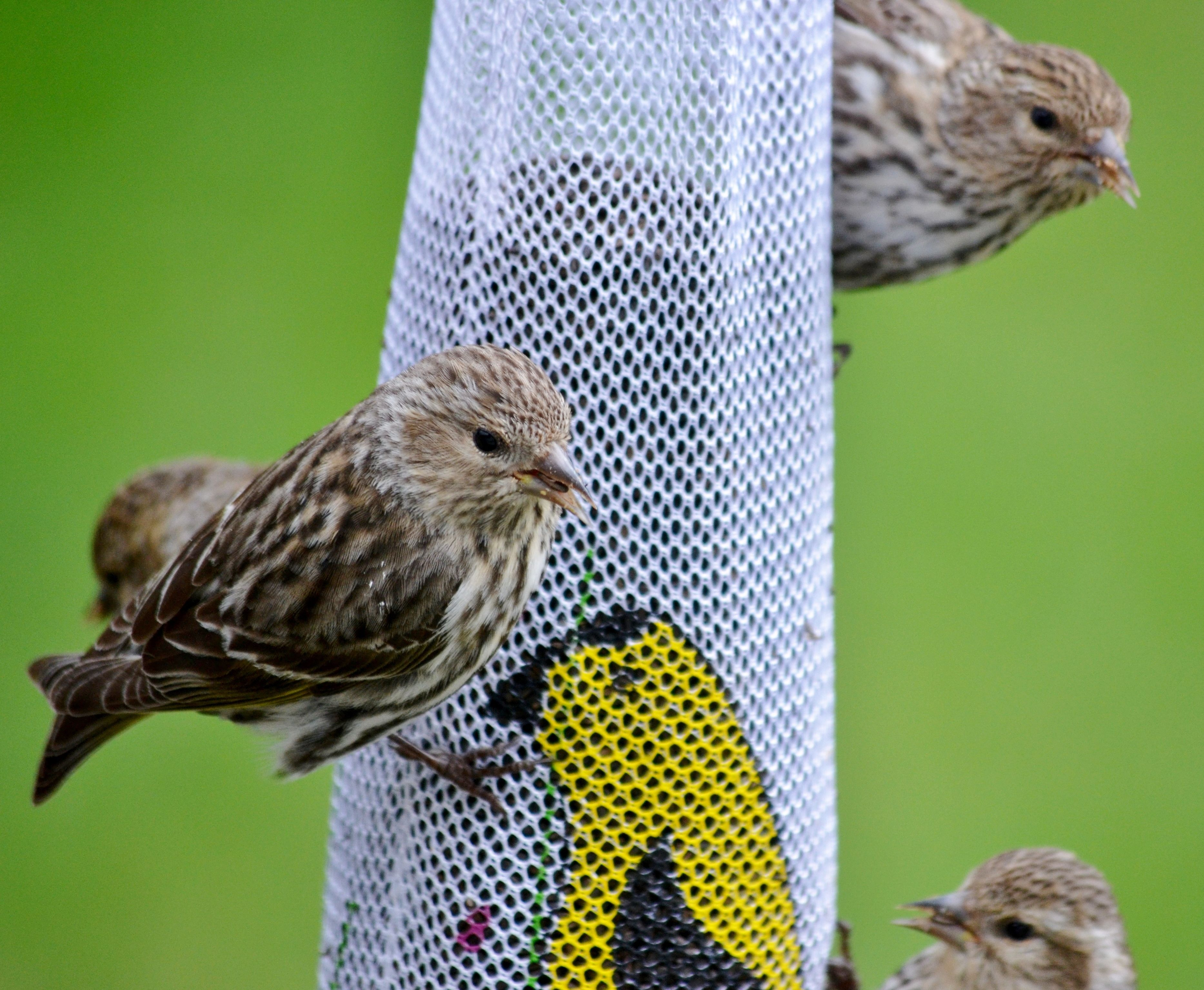 Sweet Finches