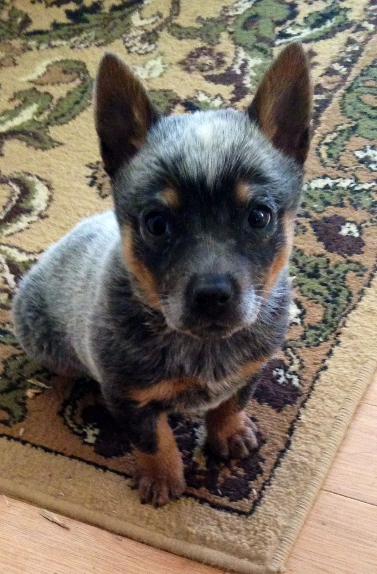 Elsa Mini Blue Heeler Blue Heeler Dogs Heeler Puppies