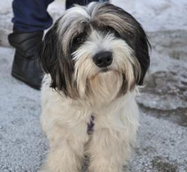 Adopt Kramer On Tibetan Terrier Dog Adoption Terrier Dogs