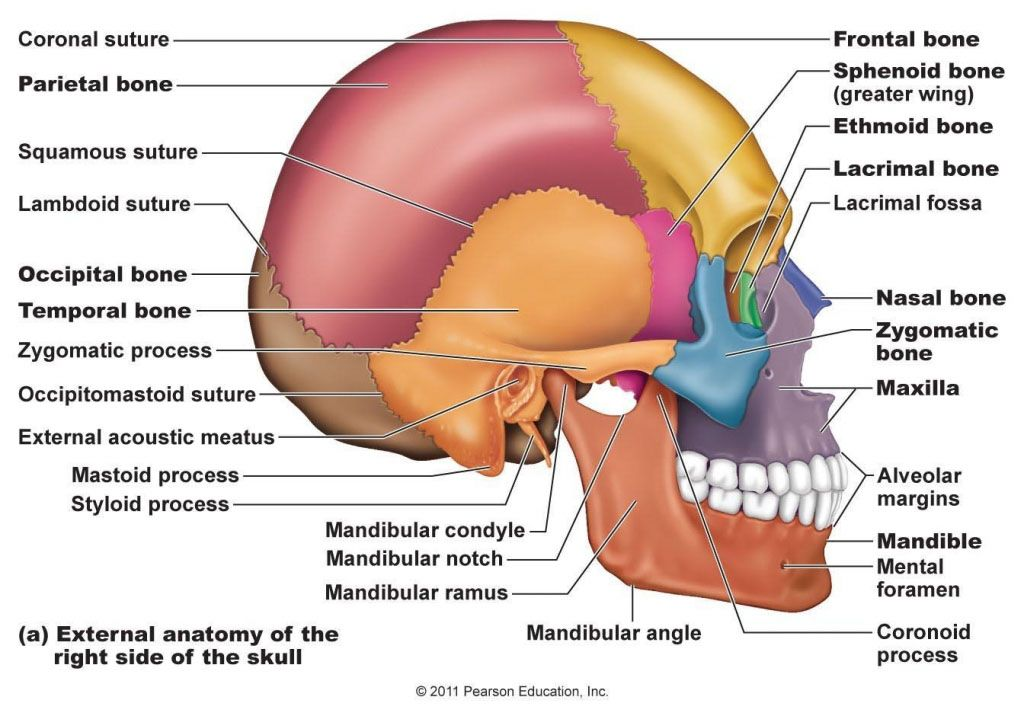 External anatomy of the right side of the skull - www.anatomynote ...