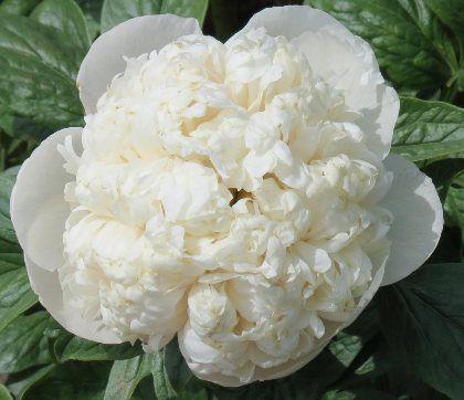 """Prototipicamente, a palavra flor remete à imagem da peônia, como sinônima. , A branca simboliza as raparigas inteligentes, arrebatadoramente belas. Na música popular chinesa é recorrente ouvir-se: """"Espero pela florescencia da peônia no jardim"""" ou """"quando a peônia desabrocha, sua fragrância espraia-se a mil milhas, atraindo borboletas de todos os lugares"""". Essas passagens são uma clara referência à volúpia, onde as borboletas se referem aos rapazes."""