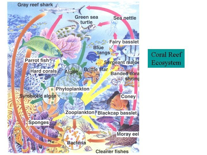 Coral Reef Food Chain Diagram Ford Fiesta Stereo Wiring Example Of A Web Reefs Gardner Apes