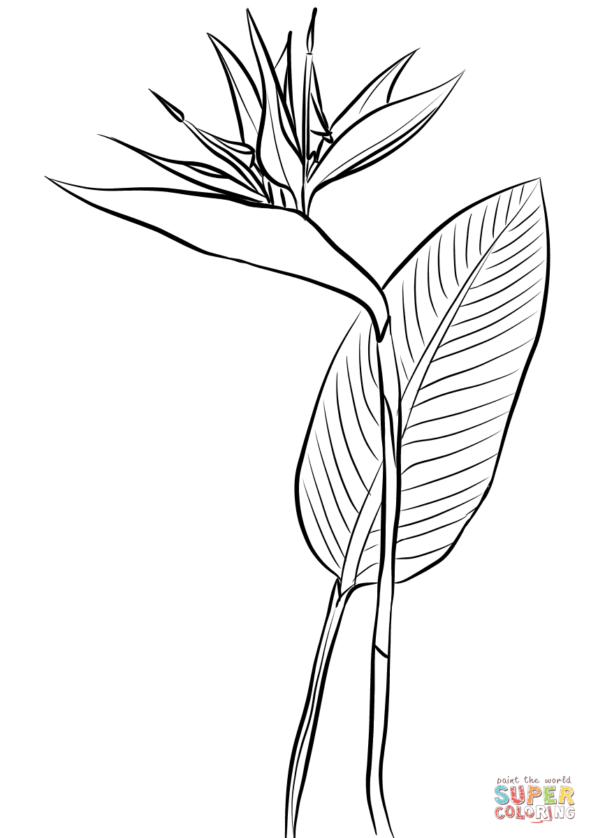 Bird Of Paradise Strelitzia Reginae Coloring Page Free Printable Coloring Pages In 2020 Flower Drawing Bird Of Paradise Tattoo Birds Of Paradise Flower