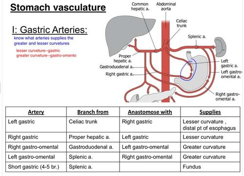 Vasculature of the stomach | Anatomy | Pinterest | Anatomy