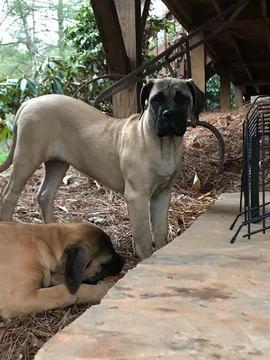 Mastiff Puppy For Sale In Weaverville Nc Adn 67104 On Puppyfinder