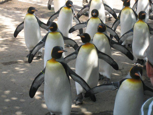 So Excited To Visit The New Penguin Enclosure At Edinburgh Zoo This Year Hope They Still Do The Penguin Parade Highli Edinburgh Zoo Edinburgh Penguin Parade
