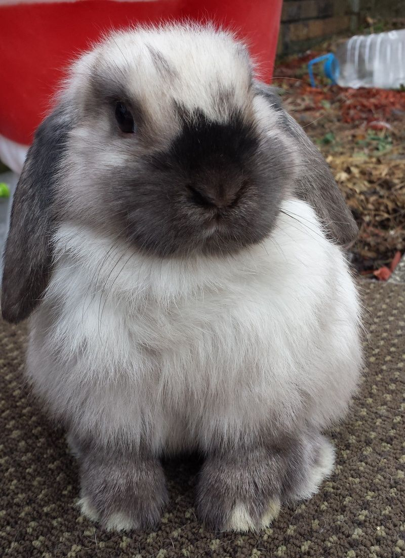 Grey Bunnies For Sale : bunnies, =BABY, BUNNIES, Bunnies,, Bunny,, Holland