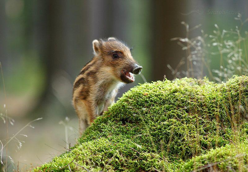 Stunning Das Bild stammt ebenfalls aus einem Treffen der Fotografen in den Bergen Zdarske vrchy in Tschechien Das Wildschwein zu fotografieren macht viel Spass