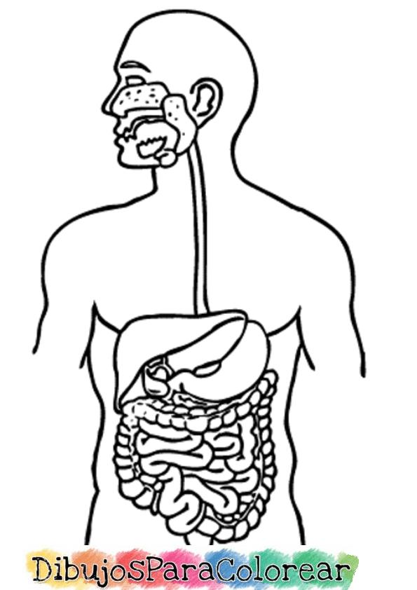 Resultado De Imagen Para Imagenes Para Calcar Grandes Del Sistema Digestivo Para Calcar Sistema Digestivo